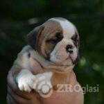 4English Bulldog-5ba2be29