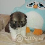 1 Pomeranian2-637b9146