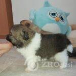 4 Pomeranian2-d8462392
