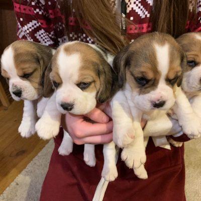 Copy of kc-reg-tri-colour-beagle-pups-5c576f3ba241c - Copy-00c027cf