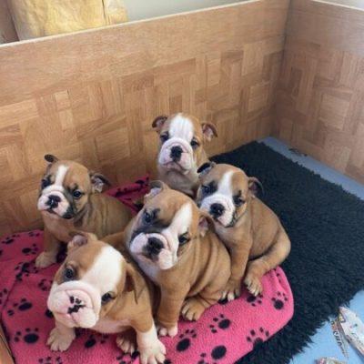 English Bulldog puppies-5dee9676df270