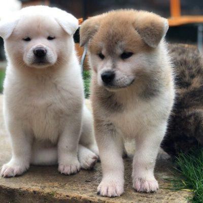 Japanese Akita Inu-puppies-5da46a639adf9