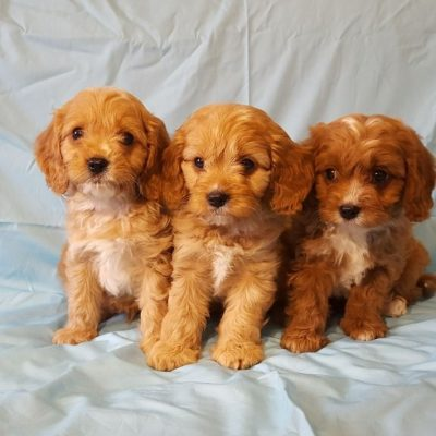 adorable-cavapoo-puppies-health-tested-5e38363bbd812-89a02f23