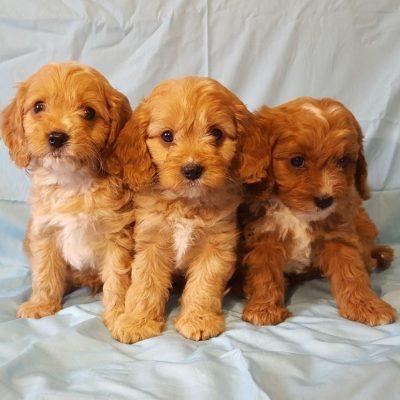 adorable-cavapoo-puppies-health-tested-5e383683b0672-2ead9056