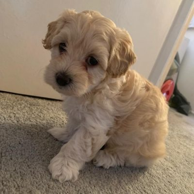 adorable-f1-maltipoo-puppies-5f46afbfd608a-c95b434a