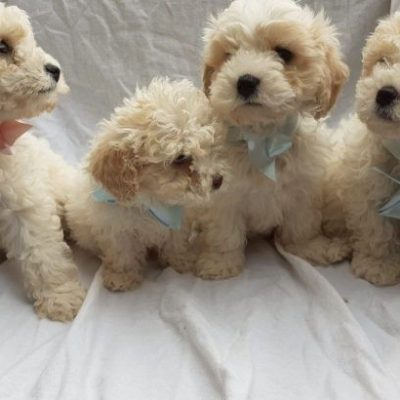 beautiful-cavachon-puppies-for-sale-5d35e0aea5cc1-760x410-e7697cfe