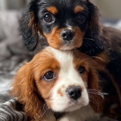 beautiful-cavalier-king-charles-puppies-for-sale-5f01c9218a452-45de89e1