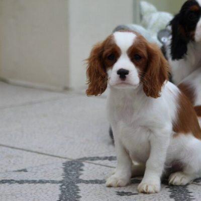 beautiful-cavalier-king-charles-spaniel-puppies-5e0a3d5e46283