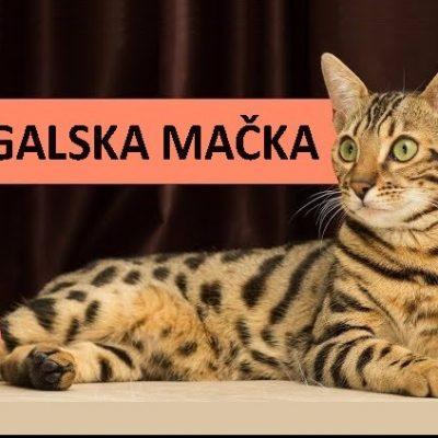 bengalska_macka_thumb-3c7bd8f8