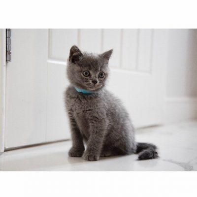 british-blue-shorthair-3-d20096b0