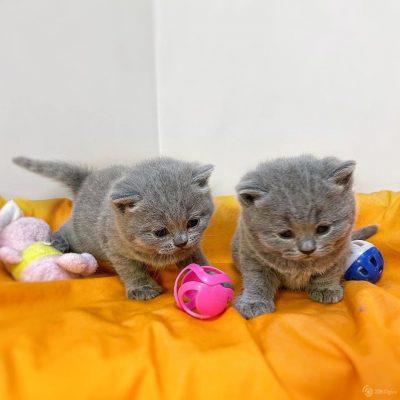 british_kitties_ny-___CJOzUkbpimG___-2-02237323