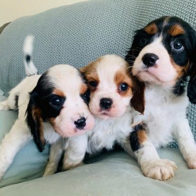 cavalier-king-charles-spaniel-puppies-registered-5f36844616418-636e18f2