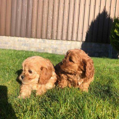 cavapoo-puppies-603c1ad32873b-12263529