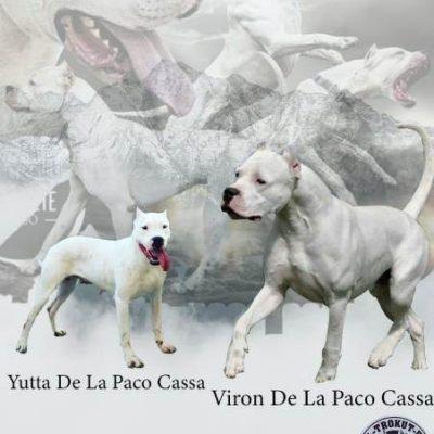 dogo argentino 01-0447094c