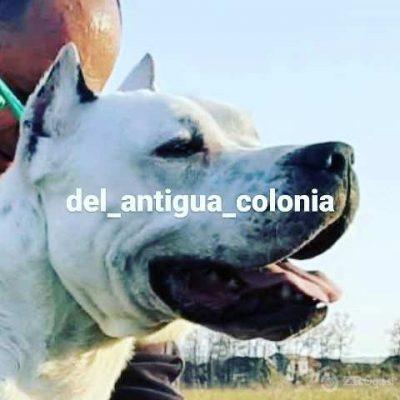 dogo argentino 01-b41b5cba