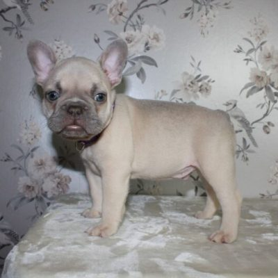 lilac-fawn-male-french-bulldog-5d97bb8ccbcb2