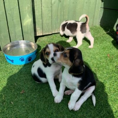 lovely-cute-beagle-puppies-5d9c6e4ce4b99