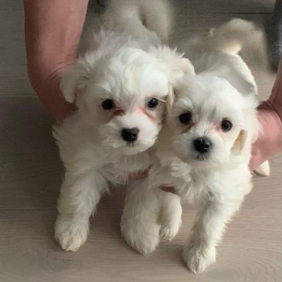 miniatures-pure-maltese-puppies-60060c726610c-ed1a1a20
