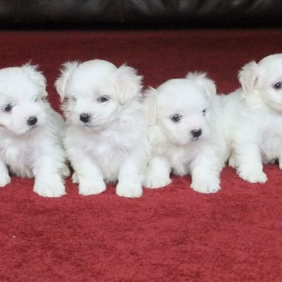 pedigree-kcregistered-maltese-puppies-5de40e419c15b-da9e90d6