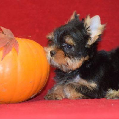 small-size-kc-reg-puppies-5db47a02a0cdd-e1a8f6cf