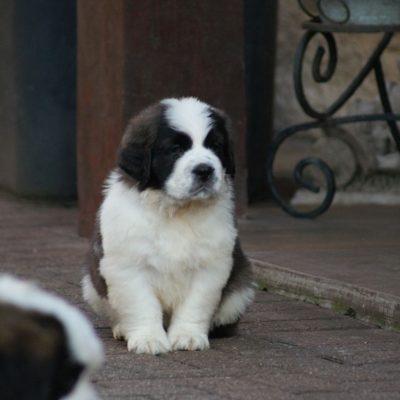 st-bernard-puppies-for-sale-5e583876c4066-cd3a1ced