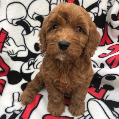 stunning-red-cockapoo-pups-for-sale-5ce669df042a6-7b5cda6f