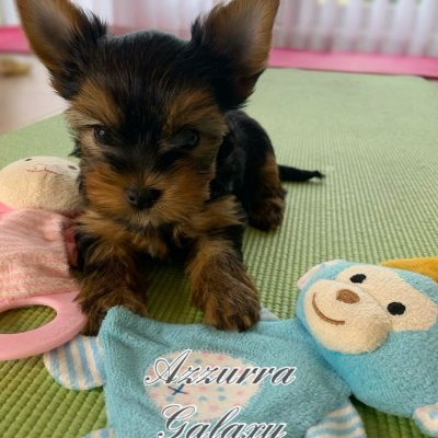 toy-yorkies-looking-for-loving-home-5e2ef88ab84bd-a83429e5