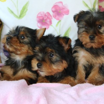 very-pretty-yorkshire-terrier-puppies-5dc9a2bc2cdb5-047815f7